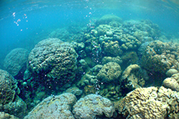 Coral reef at a carbon dioxide seep site, Milne Bay, Papua New Guinea. Research on the behaviour of coral reef fish at naturally-occurring carbon dioxide seeps in Milne Bay in eastern Papua New Guinea has shown that continuous exposure to increased levels of carbon dioxide dramatically alters the way fish respond to predators. Photo: Katharina Fabricius