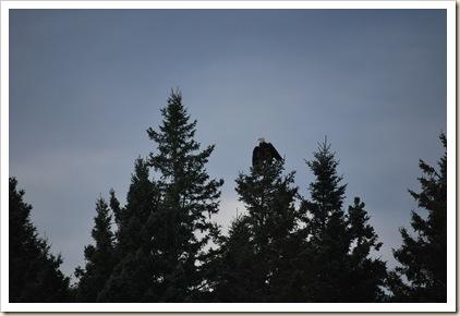 eagle wings spread
