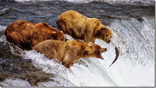 bears_&_salmon