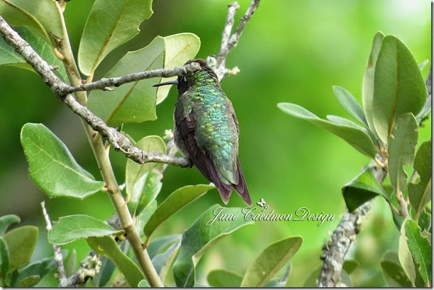 Ruby-throated_Hummingbird_Back