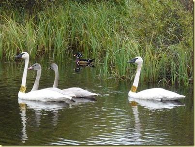 tundra swan, cygnets & wood duck-2