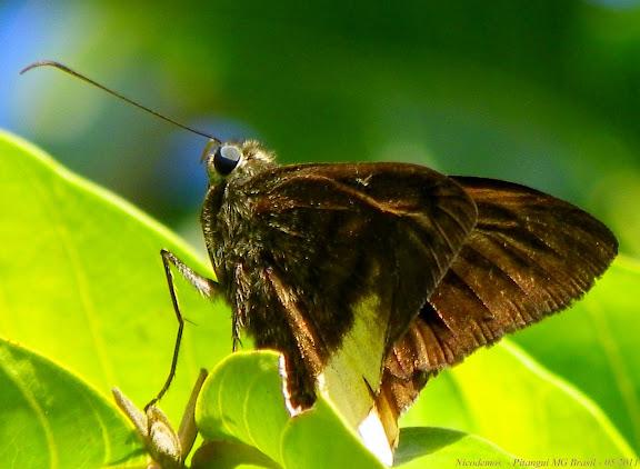 Astraptes latimargo (HERRICH-SCHÄFFER, 1869). Pitangui (MG, Brésil), 8 mai 2011. Photo : Nicodemos Rosa