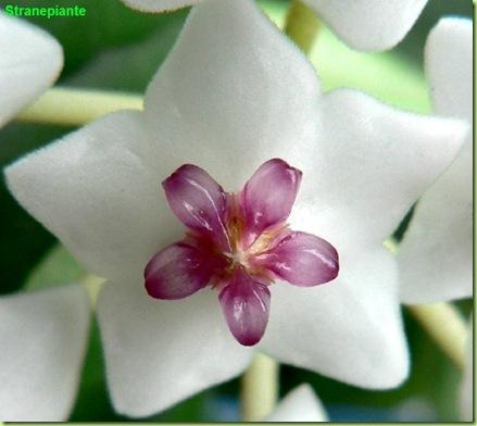 hoya bella lanceolata ssp bella fiore