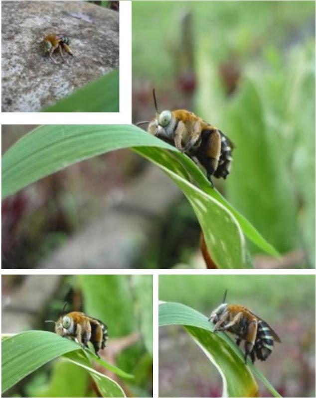 lebah yang malang