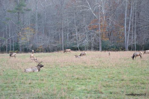 elk herd_2