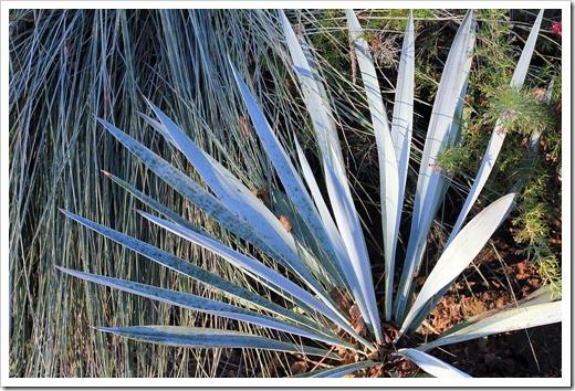 130117_UCDA_Yucca-pallida_01
