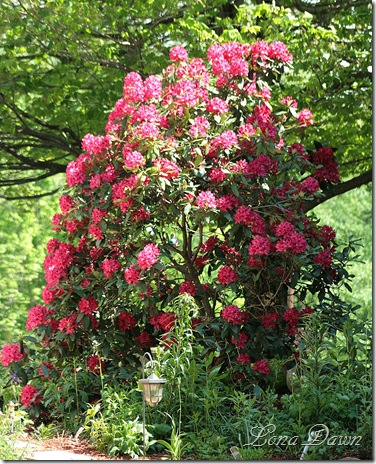 Rhododendron_Reds