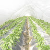 Warraichagrifarms.com-Tunel-Farming53.JPG