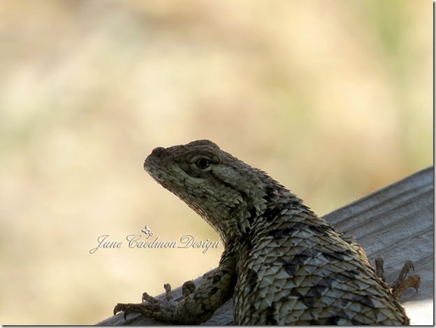Texas_Spiny_Lizard_Close