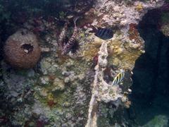 Firefish in the Kuna Yala.