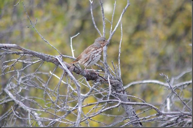 Song Sparrow - Aleutian variety