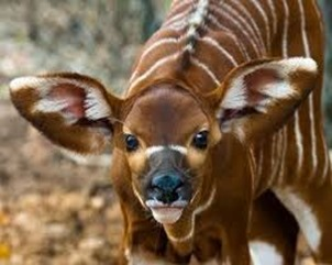 Amazing Pictures of Animals, photo, Nature, exotic, funny, incredibel, Zoo, Western or Lowland bongo, Tragelaphus eurycerus eurycerus, Mammals, Alex  (1)