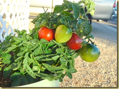 2012-01-06 - AZ, Yuma - Cactus Gardens - Tomatoes in January