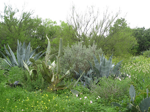 Agaves and cactus along the South Texas trail.