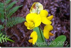 yellow legume