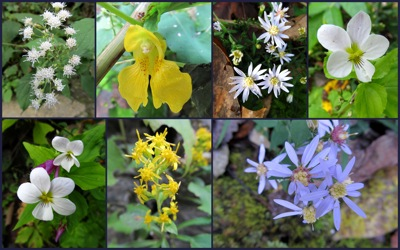 Blue Ridge wildflowers