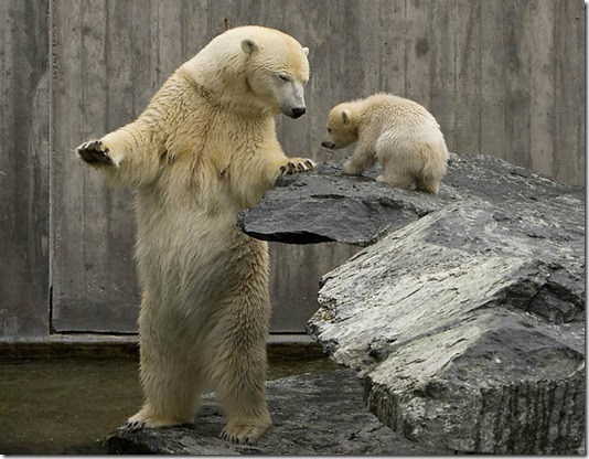 GERMANY-ANIMALS-POLAR-BEAR-WILBAER