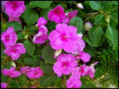 impatiens-walleriana6
