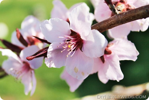 flowering-dwarf-peach-tree