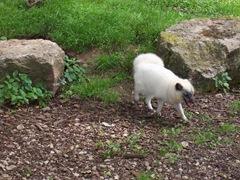 2007.05.26-014 loup blanc