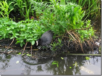 canal coot