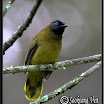 Black-headed Bulbul-05.jpg