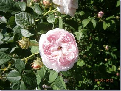 Giardino iris e rose 281
