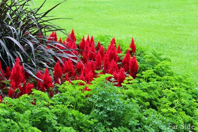 Parsley  Red celosia and vertigo Grass