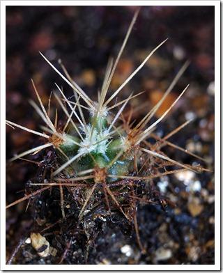 110813_cactus_babies3
