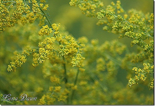 Artemisia_Sweet_Annie