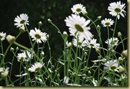 Veranda - white Margueritas