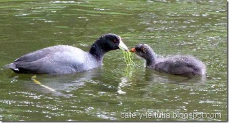 fauna del Humedal Santa Maria del lago: tingua pico amarillo o focha y cría