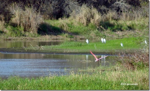 spoonbill and wood storksr 2 029