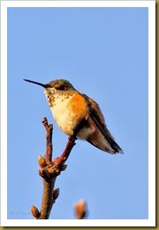 - Rufous HummingbirdROT_9395 November 20, 2011 NIKON D3S