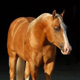 Shine by Chelsea Schneider - Animals Horses ( stallion, black background, horses, horse, still )