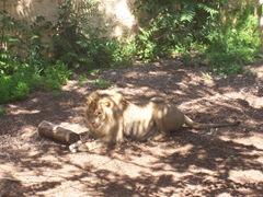 2009.05.16-053 lion