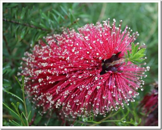 120211_UCSC_Arboretum_Kunzea-baxteri_03