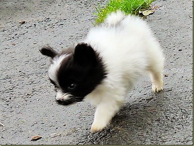 Belle`s D pup 7wks