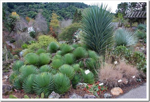 121228_UCBotGarden_Agave-stricta- -Yucca-schottii_01