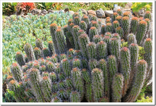 130428_UCBG_SpringSale_Euphorbia-horrida_01