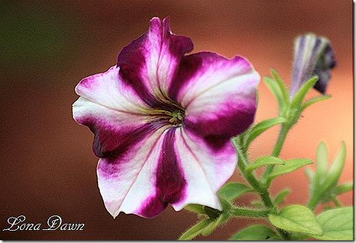 Petunia_Stripes