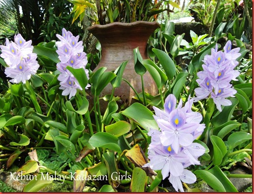 Water Hyacinth Blooming Season