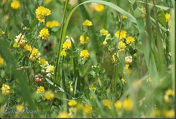 S_Trifolium dubium_YellowShamrock