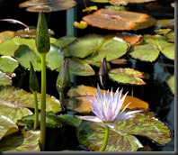 LAVENDER WATER LILY 12
