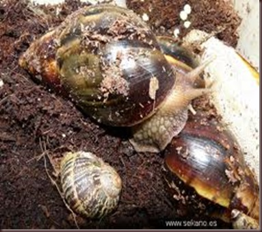 Amazing Pictures of Animals East African land snai,Achatina fulica,Mollusca. Alex (9)
