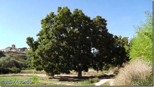 Nogal de Mélida - árbol monumental - Navarra