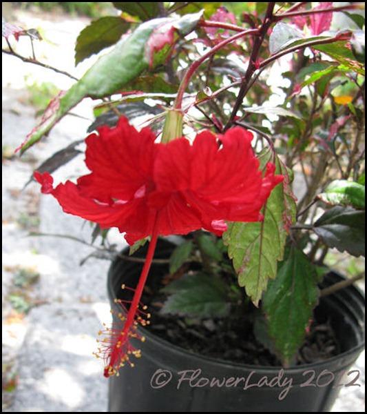 03-21-roseflake-hib