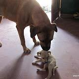 Benson heeft een jong hondje, die op ontdekkingstocht is bij FloJa en daar onze grote honden tegenkomt! Maar dit gaat onderling erg goed.