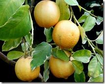 NYBG-lemons