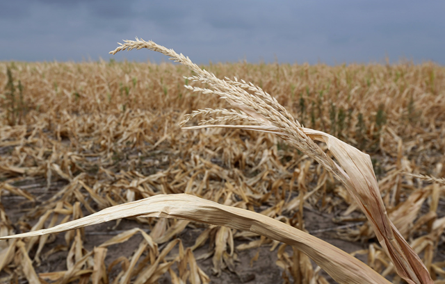 Dry stalks of corn, ravaged by drought, stand in a failed corn field near Colby, Kansas, on 24 August 2012. On 27 August 2013, Gov. Sam Brownback declared that 37 counties are still in a drought emergency. Photo: John Moore / Getty Images